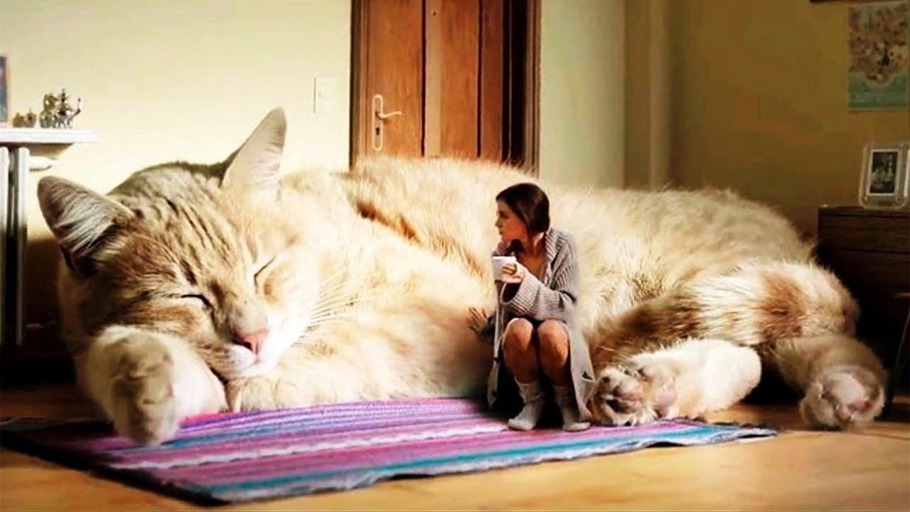 Größte Katzen